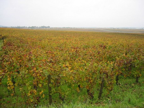 800px Vignoble Gevrey Chambertin 460x345 Conociendo Borgoña