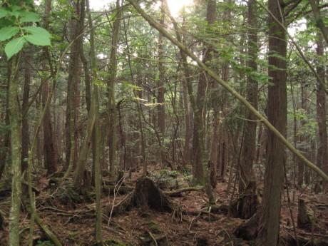 Aokigahara 460x345 Aokigahara, el bosque de los suicidios