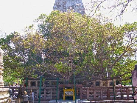 Arbol de Buda 460x345 El árbol más sagrado del mundo