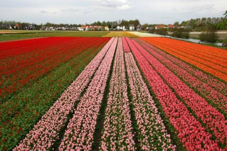 Campo de Tulipanes en Holanda 460x306 Los campos de tulipanes de Holanda