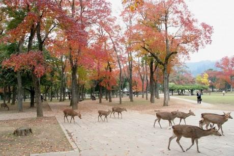 Ciervos en Nara 1 460x306 Los ciervos de Nara