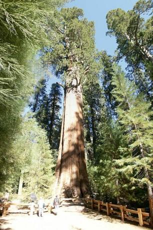 General Sherman Tree 306x460 Los árboles más impresionantes del mundo