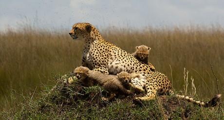 Guepardo con cachorros 460x246 Masai Mara y Serengeti, el Edén de África