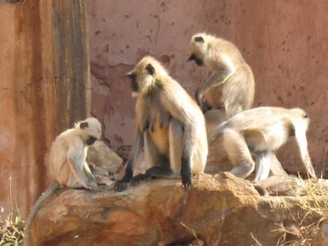 Monos Jaipur 460x345 Ladrones a cuatro patas