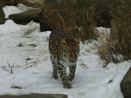 Panthera pardus orientalis 460x345 El último refugio del leopardo de Amur
