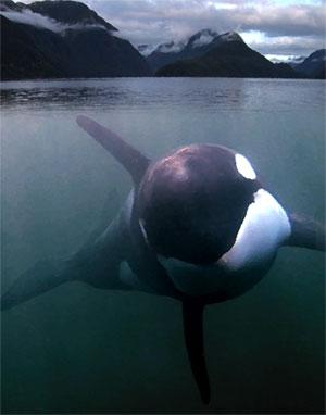 Saving Luna 2 Luna, la historia conmovedora de una orca solitaria