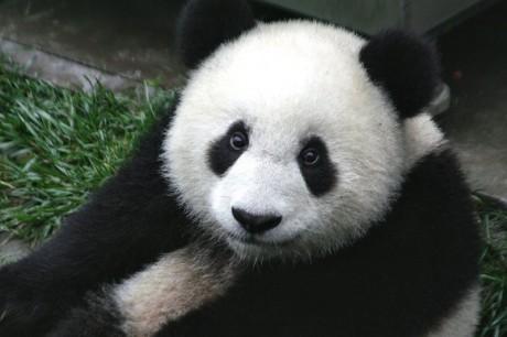 Wolong panda 460x306 Wolong, la guardería de los pandas