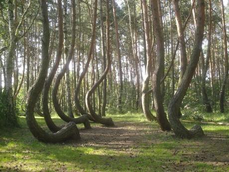 arboles 460x345 El Crooked Forest, el bosque de árboles torcidos