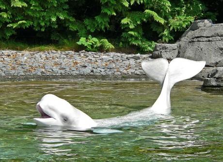 ballena 460x334 El Santuario de ballenas de El Vizcaíno, un paraíso animal