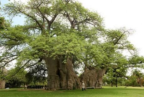baobab 460x310 Sunland Baobab, un bar dentro de un árbol
