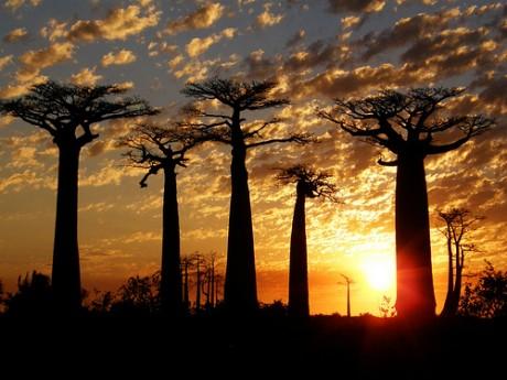 baobabs 460x345 La Avenida de Baobabs, un paseo mítico de Madagascar