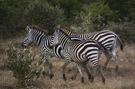 cebras 460x306 Kenia en estado puro