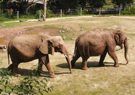 elefantes 460x325 El Orfanato de Elefantes de Pinnawella, en Sri Lanka
