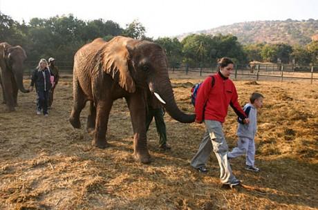 images gallery25 460x304 Acércate a los elefantes en su santuario de Johannesburgo