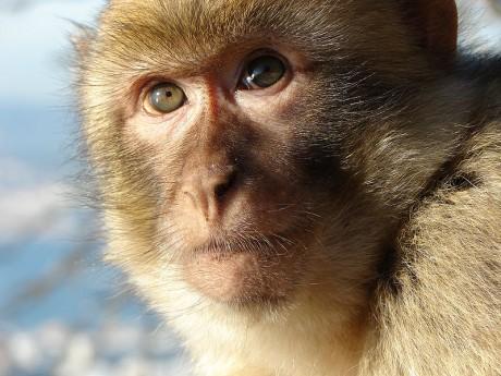 macaco 460x345 Descubre el Peñón de Gibraltar