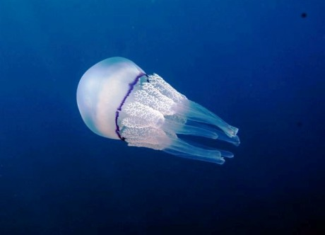 medusa 460x332 Medusas, la principal preocupación del bañista