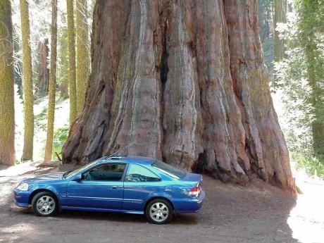 secuoya 460x345 Los árboles más altos del mundo, en California