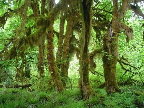 selva de hoh 460x345 La Selva de Hoh, un bosque de cuento