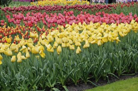 tul 460x305 Disfruta de los tulipanes