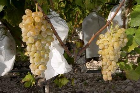 uvasvinalopo Las mejores uvas, las de Vinalopó